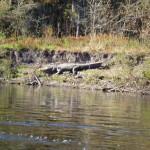big fat gator on bank
